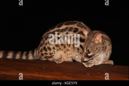 Large spotted Genet or Cape Genet (Genetta tigrina). This image was taken in South Africa. - Stock Photo