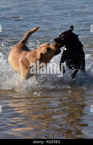 a golden Labrador and a black Labrador playing with each other in the sea and splashing in the water together. Dogs - Stock Photo