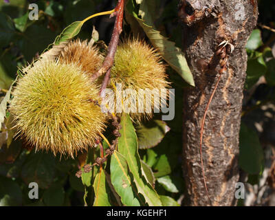 chestnuts fruits - Stock Photo