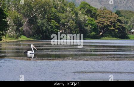 Australian Pelican (Pelecanus conspicillatus) swimming down the Ross River, Townsville, Queensland, Australia - Stock Photo