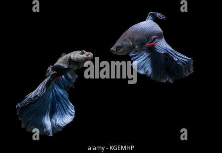 Emotiom of blue siamese fighting fish, betta splendens isolated on black background - Stock Photo