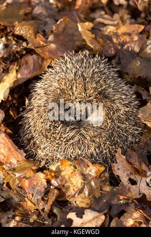 Hedgehog, wild, native, European hedgehog (Erinaceus Europaeus) hibernating in golden brown Autumn leaves. Facing - Stock Photo