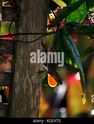 Cuban Brown Anole flashing his dewlap, which is backlit with late afternoon sun in backyard garden, Deland, Florida, - Stock Photo