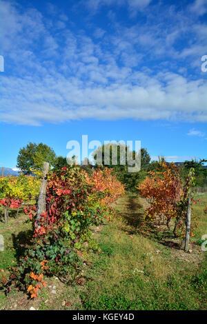 Autumnal rows of grape vines in late October in the north east Italian region of Friuli Venezia Giulia. - Stock Photo