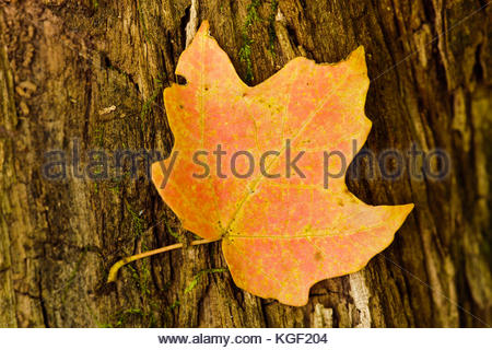 Sugar maple leaf rests on a  log in the autumn Wisconsin woods,  within the Pike Lake Unit, Kettle Moraine State - Stock Photo