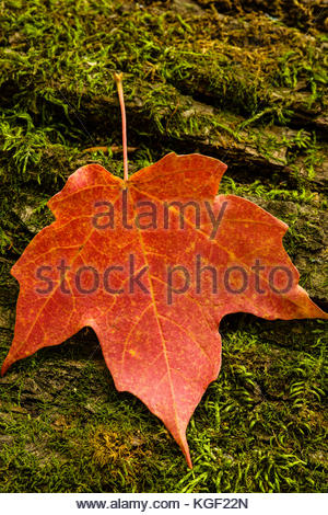 Sugar maple leaf rests on a moss-covered log in the autumn Wisconsin woods,  within the Pike Lake Unit, Kettle Moraine - Stock Photo