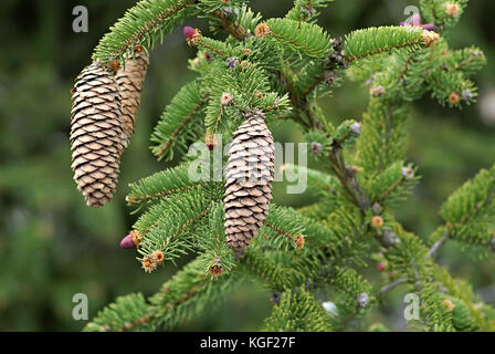 Cones on a Norway Spruce (Picea abies) branch, often used as Christmas tree. Autumn season in a southern alps forest - Stock Photo
