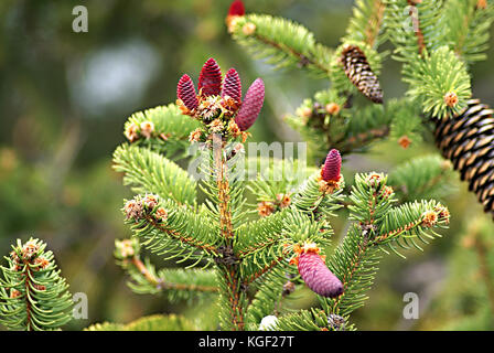 Young pink cones on a Norway Spruce (Picea abies) branch, often used as Christmas tree. Autumn season in a southern - Stock Photo