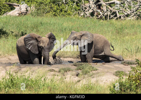 African Elephants wallowing in the mud - Stock Photo