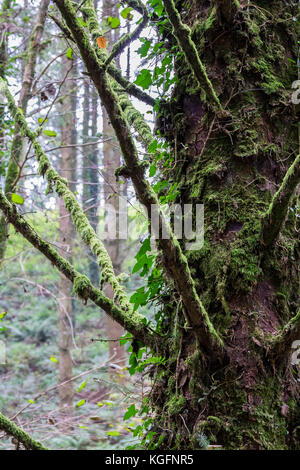 Cardinham Woods in Cornwall - tree branches covered in moss. - Stock Photo