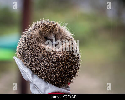 Wild Eurpean Hedgehog, Erinaceus europaeus, curled up in a hand with gloves on - Stock Photo