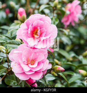 A macro shot of some pink camellia blooms. - Stock Photo