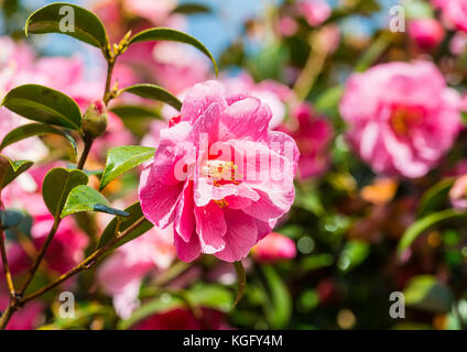 A shot of some pink camellia bush blooms. - Stock Photo