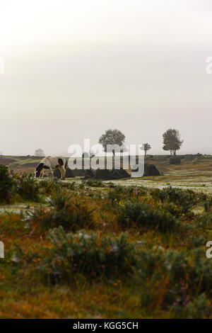 A brown and white horse grazing on Canada Common West Yellow on the edge of the New Forest on a misty morning. - Stock Photo