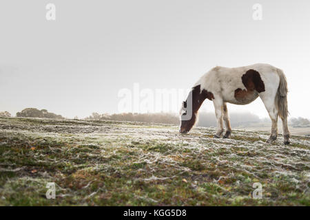 A single brown and white horse grazing in the early morning on a foggy day with dew covered spider webs covering - Stock Photo
