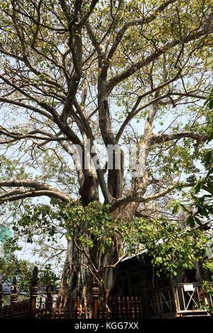 Gangaramaya Temple Colombo Sri Lanka Bo Tree - Stock Photo