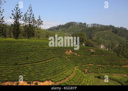 Tea Plantation near Nuwara Eliya Hill Country Central Province Sri Lanka - Stock Photo