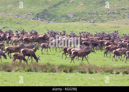 Red Deer,  Cervus elaphus,  Herd of males and female on grassland. Findhorn Valley, Scotland, UK. - Stock Photo