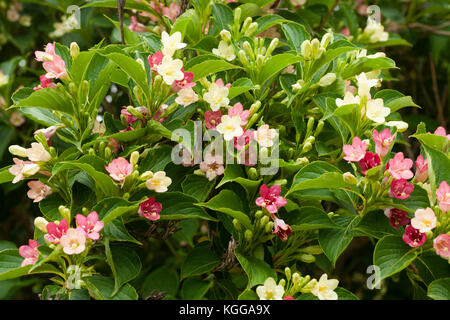 Early summer flowers of the hardy shrub, Weigela coraeensis 'Alba', turn from white to pink as they mature - Stock Photo