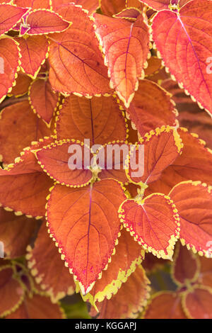 Plectranthus scutellarioides , winter sun, compact low growing cultivar. - Stock Photo