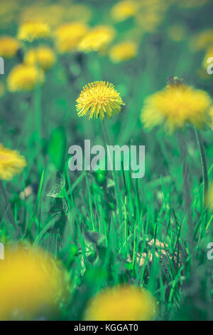 Dandelion (Taraxacum officinale) flowers in a field, with one centered flower in focus - Stock Photo