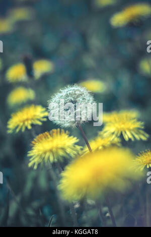 One white common dandelion (Taraxacum officinale) in seed head phase, among other, yellow dandelion flowers - Stock Photo