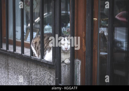 Adult white and gray domestic cat (Felis silvestris catus) laying in between the store window and bars, figuring out how to eat the photographer