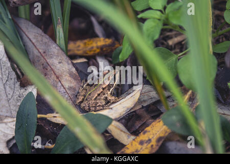 Edible frog (pelophylax kl. esculentus ex rana esculenta), sitting on the ground among dry leaves on autumn day - Stock Photo