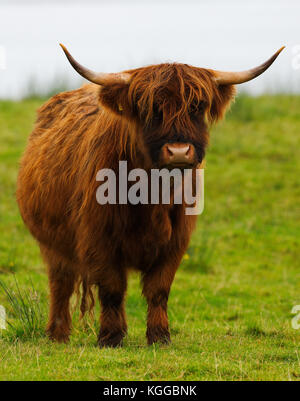 Scottish Highland cattle grazing in a field and pasture on the Isle of Mull, Scotland - Stock Photo