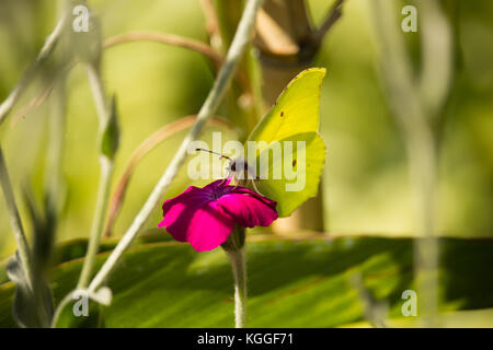 Gonepteryx cleopatra on Flower - Stock Photo