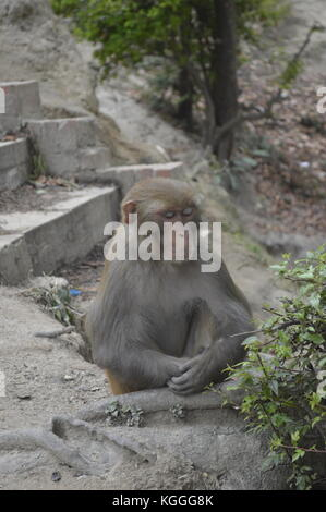 Monkey sitting in meditive pose in Pashupatinath temple in Kathmandu, Nepal. - Stock Photo