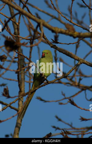 Ring-necked Parakeet, this parrot was perched in a tree, near Bexley London UK. Latin name Psittacula krameri, an - Stock Photo
