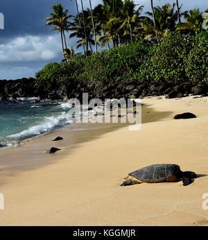 Hawaiian Sea Turtles - Laniakea Beach, Oahu, Hawaii - Stock Photo