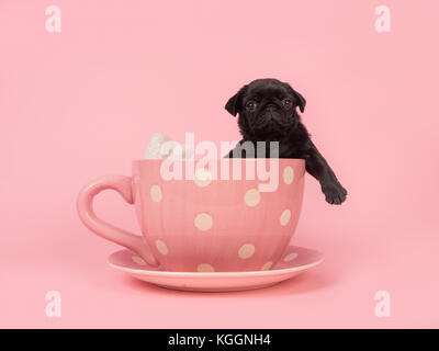 Black pug puppy facing the camera hanging over the edge of a pink and white dotted cup and saucer on a pink background - Stock Photo