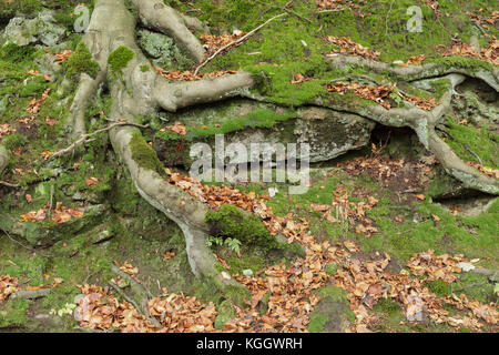 Exposed tree roots of Common Beech (Fagus sylvatica), Hardcastle Crags, Heptonstall, West Yorkshire, England, October - Stock Photo