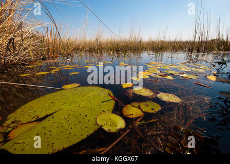Okavango water lilies, Moremi Game Reserve, Botswana - Stock Photo