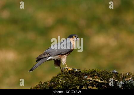 Sparrowhawk with prey - Stock Photo