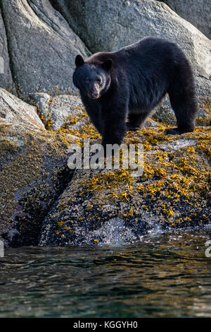 Black bear (Ursus americanus) standing along a cliff at low tide in Knight Inlet, beautiful British Columbia, Canada. - Stock Photo