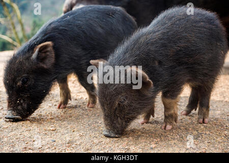 Piglets at feeding time on a organic farm in China. - Stock Photo