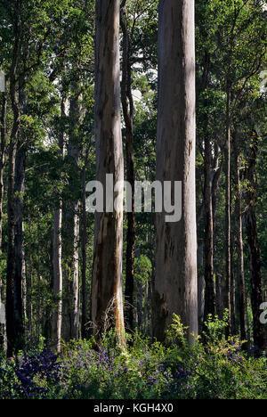 Karri forest (Eucalyptus diversicolor), Warren National Park, southwest Western Australia - Stock Photo