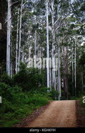 A dirt road traverses  a stand of  majestic Blue Gums in Kangaroo River State Forest - Stock Photo