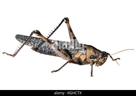 Vagrant Grasshopper or Gray Bird Grasshopper, Schistocerca nitens - Stock Photo