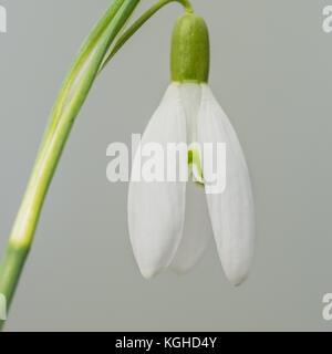 A macro shot of a single snowdrop. - Stock Photo