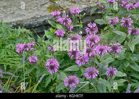 Close up of Monards fistulosa in a garden flower border - Stock Photo