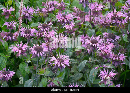 Close up of Monarda fistulosa in a garden border - Stock Photo