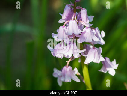 A macro shot of some pink spanish bluebells. - Stock Photo