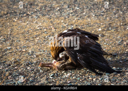 Golden eagle attacked a rabbit and killed him. - Stock Photo