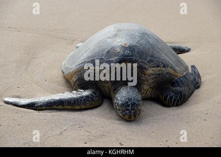 Hawaiian sea turtles on Laniakea Beach, Oahu, Hawaii - Stock Photo