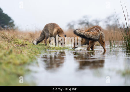 Red Foxes / Rotfüchse ( Vulpes vulpes ), two adults, on a rainy winter day, searching for food on a flooded embankment - Stock Photo