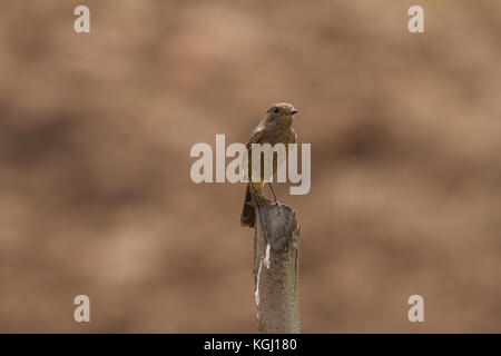 Female Pied Bushchat (Saxicola caprata ) in nature Thailand - Stock Photo